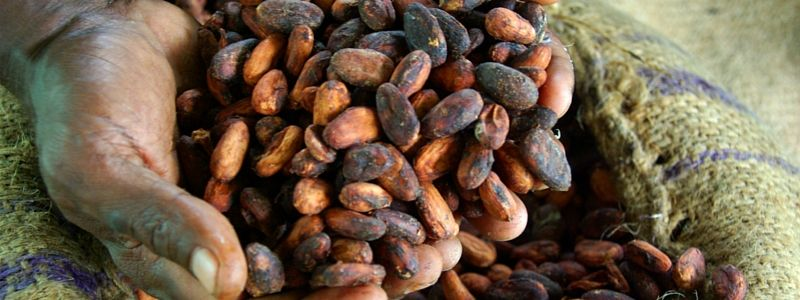 investimento cacao
